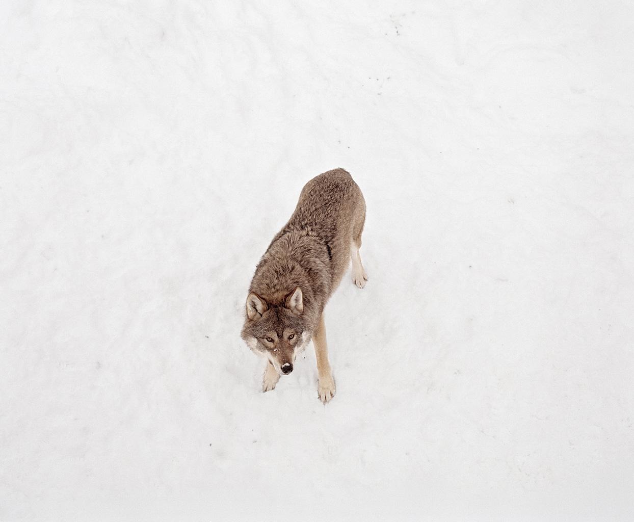 yanngross_wolf